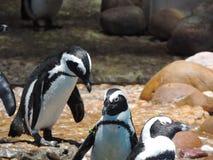 Afrikaanse pinguïn of het wetenschappelijke naam, Spheniscus-demersus royalty-vrije stock afbeelding
