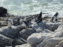 Afrikaanse pinguïn in hun habitat Royalty-vrije Stock Foto