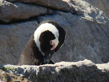 Afrikaanse pinguïn op kustlijn royalty-vrije stock fotografie