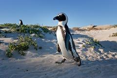 Afrikaanse pinguïn, spheniscusdemersus, Zuid-Afrika Stock Foto