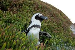 Afrikaanse pinguïn, spheniscusdemersus, Zuid-Afrika Stock Afbeeldingen