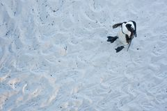 Afrikaanse pinguïn, spheniscusdemersus, Zuid-Afrika Stock Afbeelding