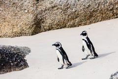 Afrikaanse pinguïnen Stock Afbeelding