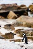 Afrikaanse pinguïnen Royalty-vrije Stock Foto