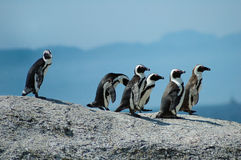 Afrikaanse pinguïnen Royalty-vrije Stock Fotografie