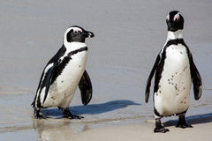 Afrikaanse Pinguïnen bij de Overzeese Kust Stock Afbeelding