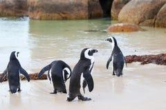 Afrikaanse Pinguïnen bij het Strand van Keien, Zuid-Afrika royalty-vrije stock foto