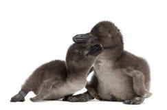 Afrikaanse Pinguïnen, demersus Spheniscus Stock Fotografie