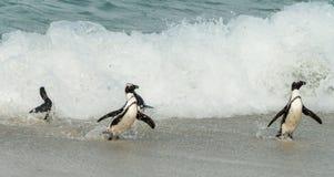 Afrikaanse Pinguïnen lat Spheniscus Demersus bij Keienstrand binnen stock afbeelding