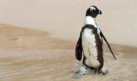 Afrikaanse Pinguïnen in Simonstown (Zuid-Afrika) Royalty-vrije Stock Foto's