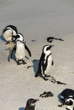 Afrikaanse Pinguïnen in Simonstown (Zuid-Afrika) Royalty-vrije Stock Foto