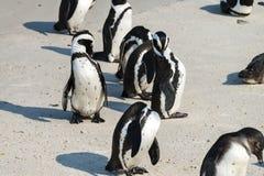 Afrikaanse Pinguïnen in Simonstown (Zuid-Afrika) Royalty-vrije Stock Afbeeldingen