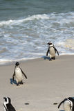 Afrikaanse Pinguïnen in Simonstown (Zuid-Afrika) Stock Foto's