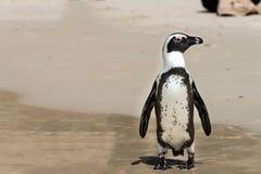 Afrikaanse Pinguïnen (Spheniscus-demersus) Royalty-vrije Stock Foto's