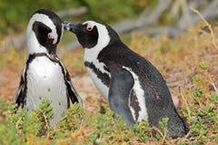 Afrikaanse pinguïnen Stock Foto's