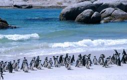 Afrikaanse pinguïnen Stock Fotografie