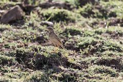 Afrikaanse pipit, Anthus-cinnamomeus royalty-vrije stock foto