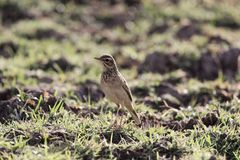 Afrikaanse pipit, Anthus-cinnamomeus stock foto's