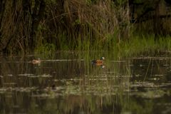 Afrikaanse Pygmy Gans Botswana stock afbeeldingen