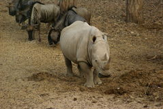 Afrikaanse Rinoceros Stock Afbeeldingen