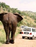 Afrikaanse safari. Olifant Stock Afbeeldingen