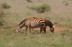 Afrikaanse safarizebras stock foto's