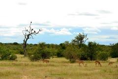 Afrikaanse Savanne Royalty-vrije Stock Afbeeldingen