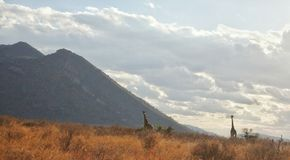 Afrikaanse savanne en giraffen Royalty-vrije Stock Afbeeldingen