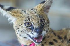 Afrikaanse Serval Royalty-vrije Stock Foto