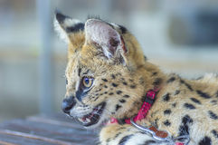 Afrikaanse Serval Royalty-vrije Stock Foto's