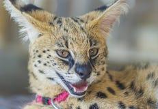 Afrikaanse Serval Royalty-vrije Stock Afbeeldingen