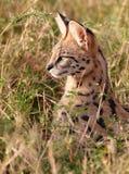 Afrikaanse Serval (serval Leptailurus) Stock Foto
