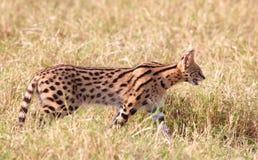 Afrikaanse Serval (serval Leptailurus) Stock Fotografie