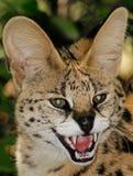 Afrikaanse Serval (serval Leptailurus) Stock Foto's