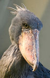 Afrikaanse shoebillvogel Royalty-vrije Stock Foto