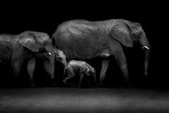 Afrikaanse Slagtanden royalty-vrije stock foto's