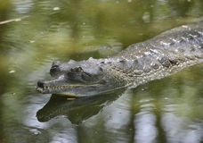 Afrikaanse slank-Gewroete Krokodil Stock Foto