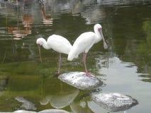 Afrikaanse Spoonbill - africana Espátula Royalty-vrije Stock Afbeeldingen