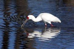 Afrikaanse Spoonbill - Delta Okavango - Botswana Royalty-vrije Stock Foto's