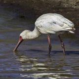 Afrikaanse Spoonbill die voor Weekdieren vissen Royalty-vrije Stock Afbeeldingen