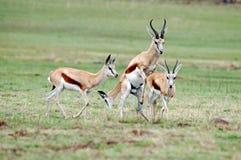 Afrikaanse Springbok Stock Fotografie