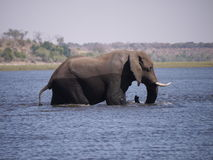 Afrikaanse struikolifant die Chobe-rivier kruisen Stock Foto