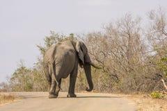 Afrikaanse struikolifant die op de weg, in Kruger-Park, Zuid-Afrika lopen Royalty-vrije Stock Fotografie