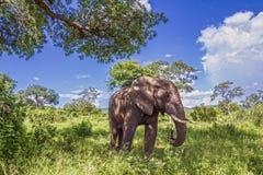 Afrikaanse struikolifant in het Nationale park van Kruger, Zuid-Afrika Royalty-vrije Stock Foto