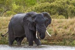Afrikaanse struikolifant in het Nationale park van Kruger, Zuid-Afrika Stock Afbeeldingen
