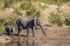 Afrikaanse struikolifant in het Nationale park van Kruger, Zuid-Afrika Stock Foto's