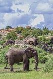 Afrikaanse struikolifant in het Nationale park van Mapungubwe, Zuid-Afrika stock fotografie