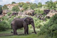 Afrikaanse struikolifant in het Nationale park van Mapungubwe, Zuid-Afrika royalty-vrije stock foto