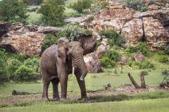 Afrikaanse struikolifant in het Nationale park van Mapungubwe, Zuid-Afrika stock afbeelding