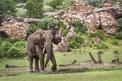 Afrikaanse struikolifant in het Nationale park van Mapungubwe, Zuid-Afrika royalty-vrije stock fotografie